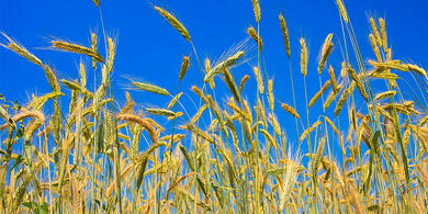 Cultivated rye_62420029-blog